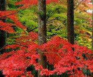 绽放在日本美轮美奂的金秋红叶