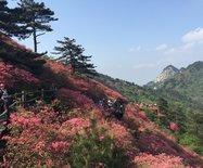 红色热土麻城,赏基尼斯之最龟峰杜鹃