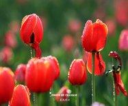 【实拍】北京植物园唯美郁金香:色彩的盛宴