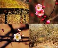 暗香浮动:冬季杭州赏梅旅行攻略