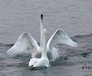 实拍:在烟墩角拍摄白天鹅伉俪谱写爱情忠贞之歌