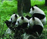 臥龍大熊貓自然保護區