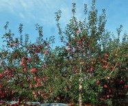 紅蘋果觀光采摘園