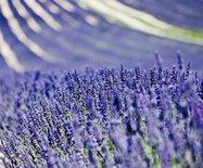 【法國】七月薰衣草,普羅旺斯的紫色天堂