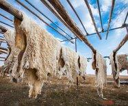 内蒙古草原这对父子,传承着古老的手工熟皮技艺