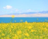 走進青海湖,邂逅美麗的油菜花海