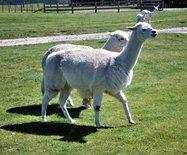 新西兰游记之三----爱歌顿牧场观光记