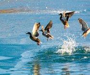 吉林 俄罗斯数千鸭子飞抵吉林,画面太美,温暖如春