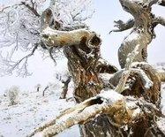全球顶级视觉--霜降的胡杨照片(多图)
