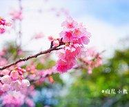 冲绳,遇见全日本樱花最早盛开的地方