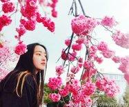 武汉大学的樱花大道,绚烂多姿(图)