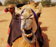 迪拜清晨騎駱駝偶遇瞪羚家族,感受阿拉伯式野奢
