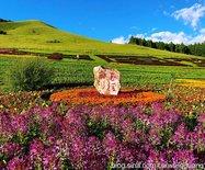 呼伦贝尔草原之花,也是那样绚烂(图)