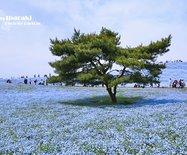【日本】春天的风物诗,沉醉于蓝色芬芳