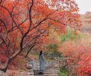 层林尽染的京西坡峰岭,最后两周红叶盛宴胜却人间无数