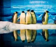 大连|难得一见的南极企鹅求爱场面,游客直呼辣眼睛