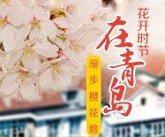 花开时节 在青岛漫步樱花路
