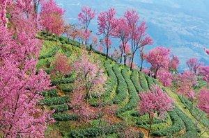 冬天的云南,有一个开满了樱花的樱花谷