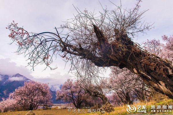 当大半个中国都迎来春天的时候,藏地江南林芝也迎来了柔情妩媚的季节。雪山圣湖,桃红柳绿,每年三月,这里的独特风景美丽得如同世界尽头的童话仙境,令人只想停留在永远的春天里。   林芝是西藏自治区的一个地级市,古称工布,林芝是藏文尼池或娘池音译而来,藏语意为娘氏家庭的宝座或太阳的宝座。这里地处西藏自治区东南部,雅鲁藏布江中下游,其西部和西南部分别与拉萨、山南相连,西连那曲,东接昌都和云南迪庆,南部与缅甸接壤,被称为西藏的江南,有世界上最深的峡谷雅鲁藏布江大峡谷和世界第三峡谷帕