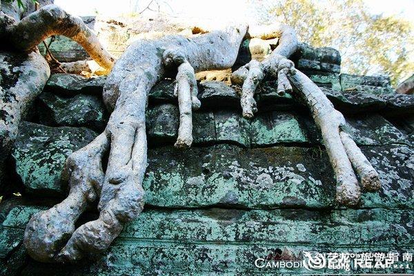绞杀榕和木棉树粗大的树根茎干盘结缠绕
