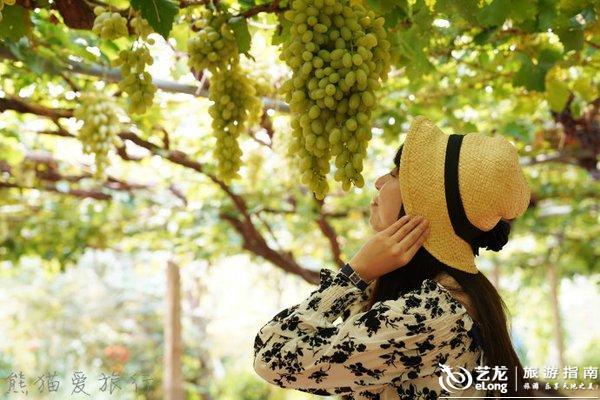 北医三院挂��\_瓜果飘香金秋季去昌黎,百年葡萄树下吃农家乐,漫步十里葡萄