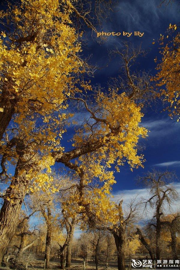 深秋时节,作为全国胡杨林分布最为集中的内蒙古额济纳旗胡杨林进入图片