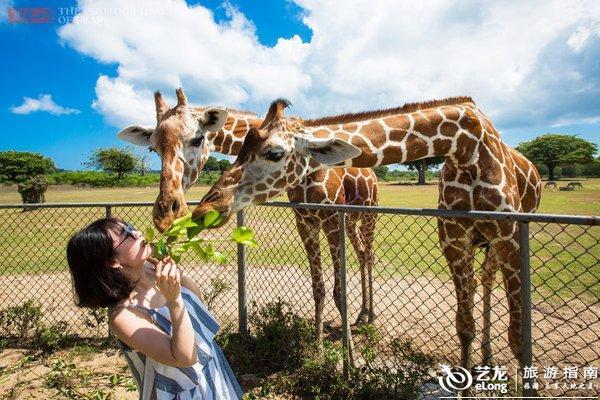 菲律宾奇特的野生动物园,游客嘴叼树枝喂长颈鹿
