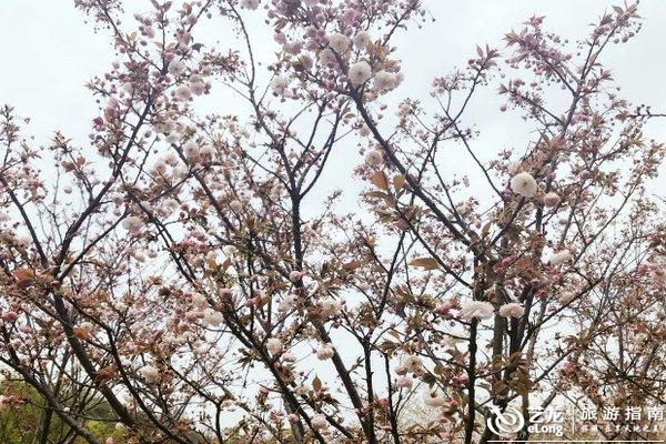 湖南省森林植物园 樱花品种超多