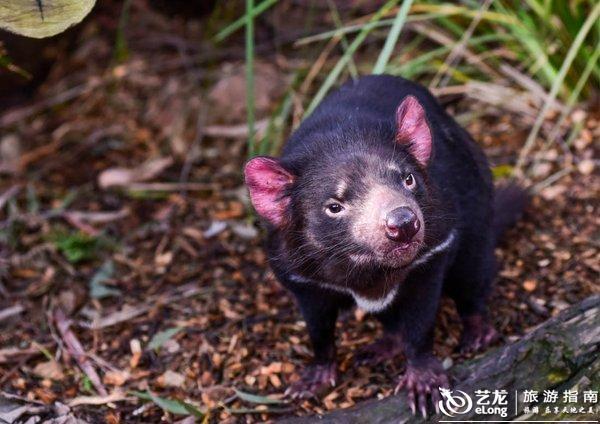 澳大利亚是一个地大物博人口稀少的国度,这里每平方公里仅有3个人,所以生态极好,野生动物随处可见,车辆跑在高速上,时不时偶能看到奔跑的袋鼠及被撞死的野生动物,所以到澳大利亚游玩,观赏这里的野生动物是必不可少的环节。  到达墨尔本的第三天,我们艾华澳游之旅来到位于离墨尔本130公里之外的巴拉瑞特野生动物园,听说这里可以与很多可爱的小动物亲密接触,所以这也是孩子们盼了很久的地方。  据工作人员介绍,巴拉瑞特野生动物园(Ballarat Wildlife Park)创建于1985年,,至今已有三十多年的历史由