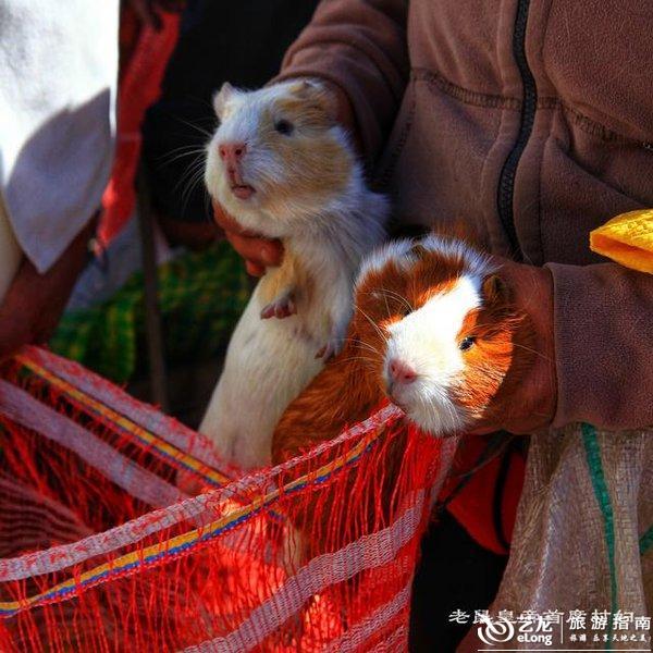 """这种超级可爱的小萌宠叫做仓鼠,也叫天竺鼠,因为英文名字叫做""""guinea"""