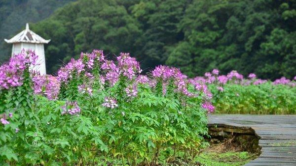 广州从化迎来盛花季 首次发布赏花地图