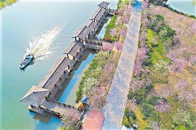 除了华农 广州3处人少的紫荆花观赏地