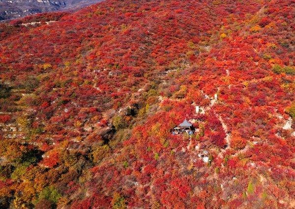 京西坡峰岭,最后两周红叶盛宴胜却人间无数