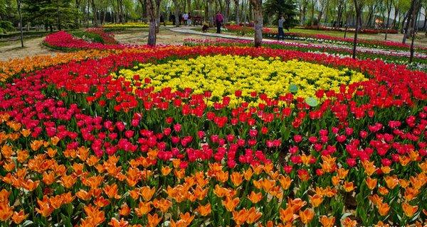 石家庄植物园郁金香