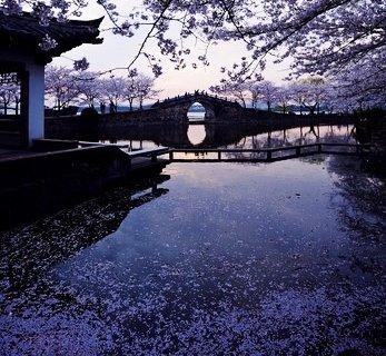 无锡鼋头渚樱花