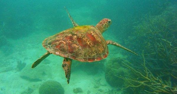 大堡礁大海龟